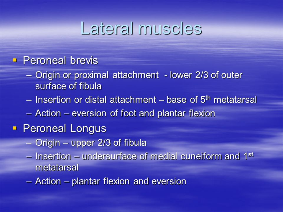 Lateral muscles Peroneal brevis Peroneal Longus