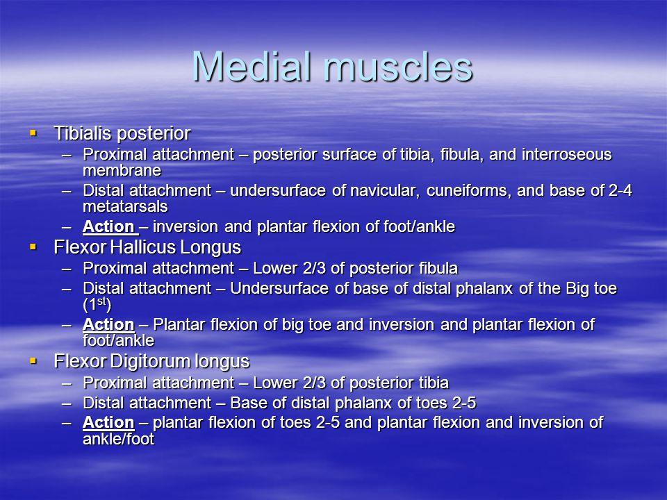 Medial muscles Tibialis posterior Flexor Hallicus Longus