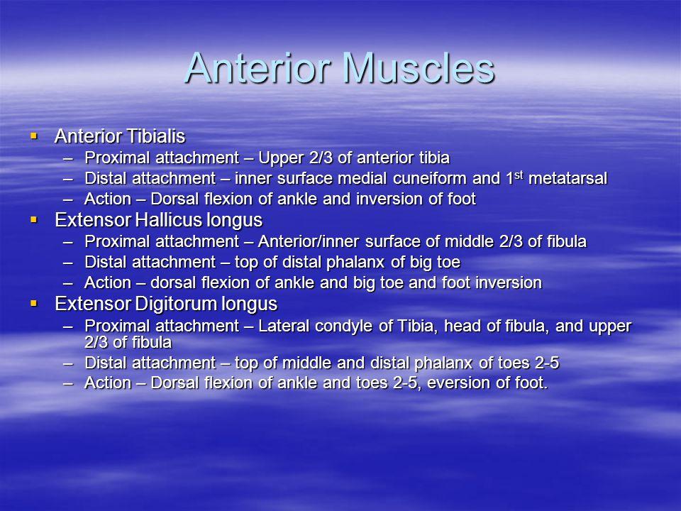 Anterior Muscles Anterior Tibialis Extensor Hallicus longus