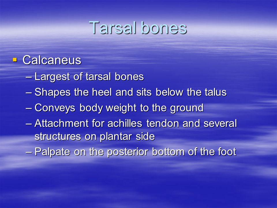 Tarsal bones Calcaneus Largest of tarsal bones