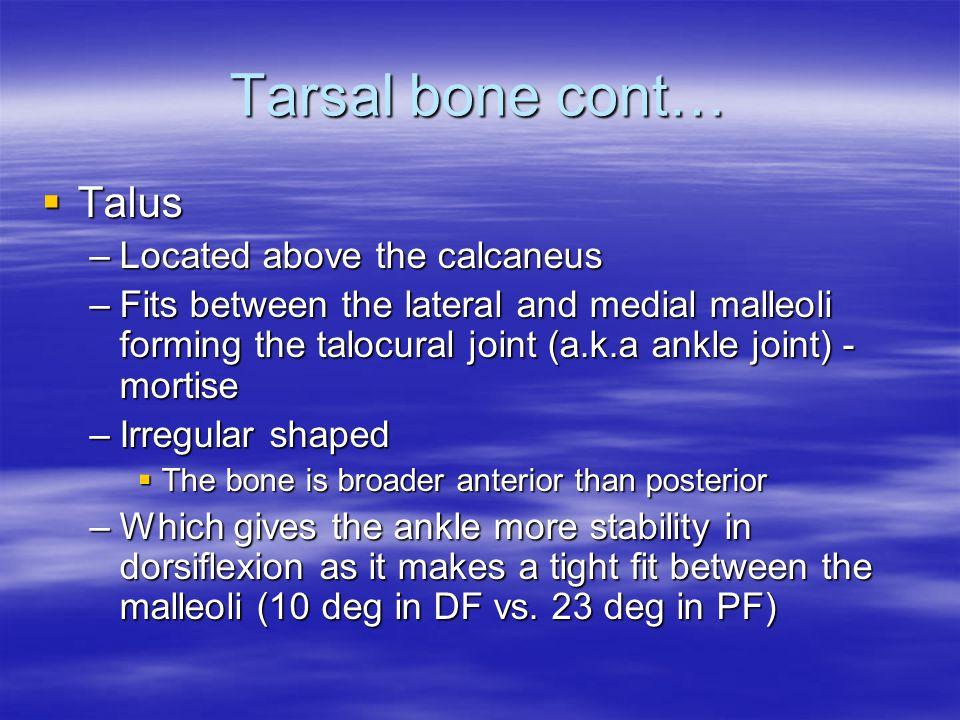 Tarsal bone cont… Talus Located above the calcaneus