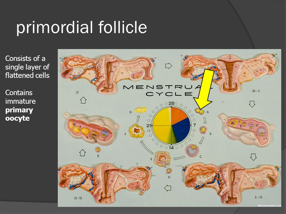 primordial follicle Consists of a single layer of flattened cells
