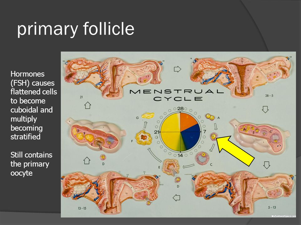 primary follicle Hormones (FSH) causes flattened cells to become cuboidal and multiply becoming stratified.