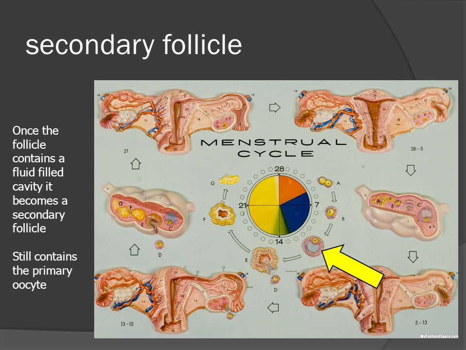 secondary follicle Once the follicle contains a fluid filled cavity it becomes a secondary follicle.