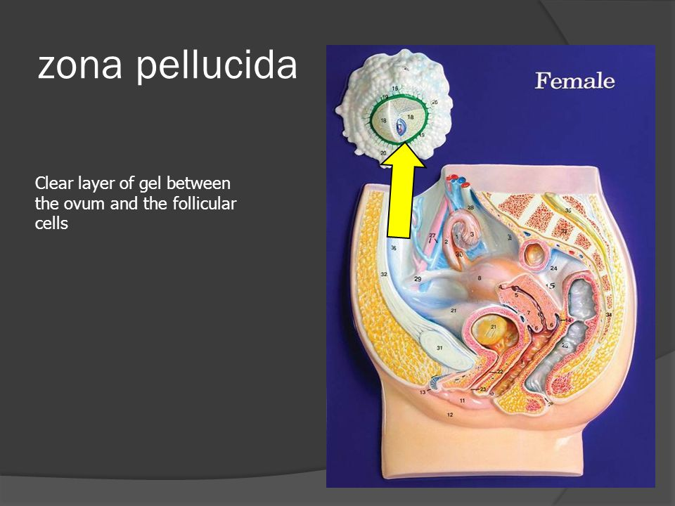 zona pellucida Clear layer of gel between the ovum and the follicular cells