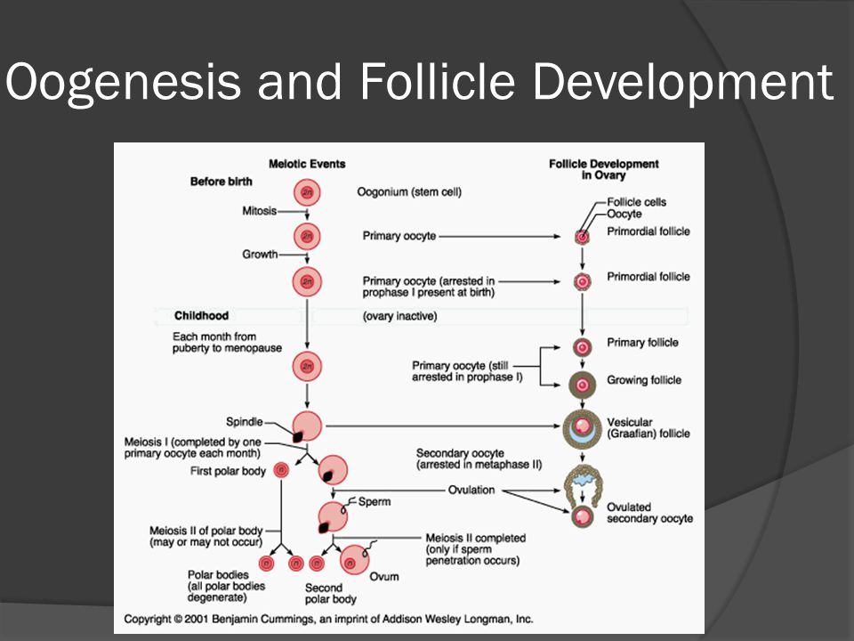 Oogenesis and Follicle Development