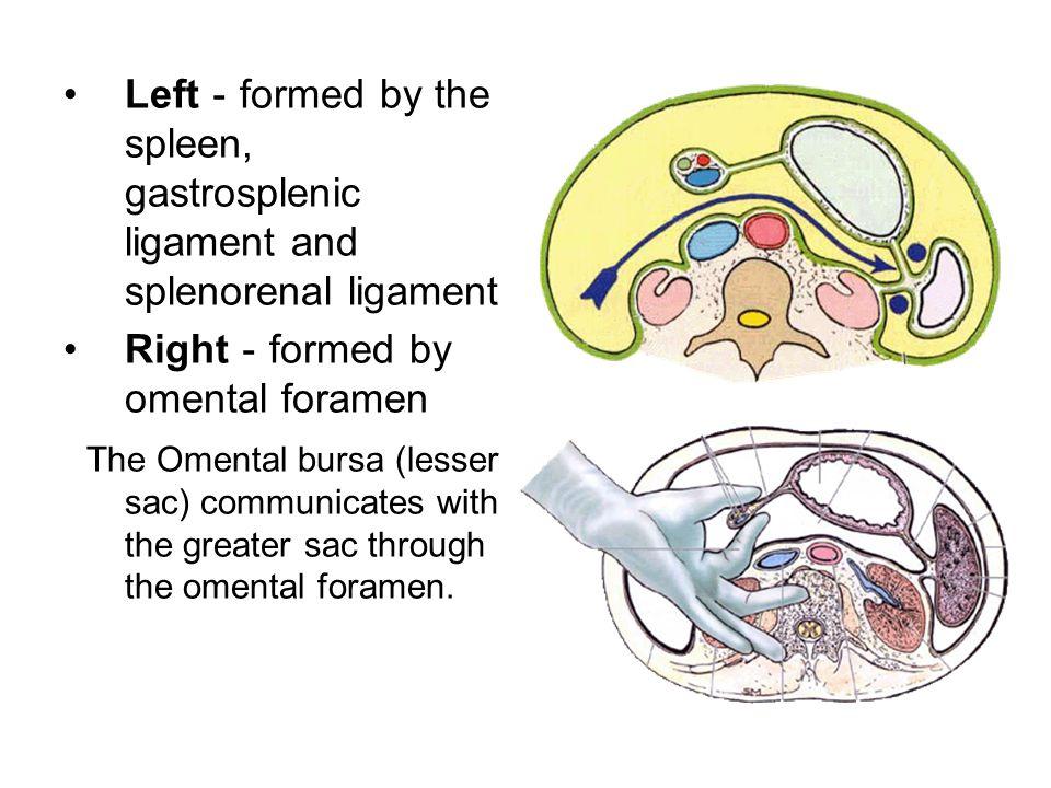 Left-formed by the spleen, gastrosplenic ligament and splenorenal ligament