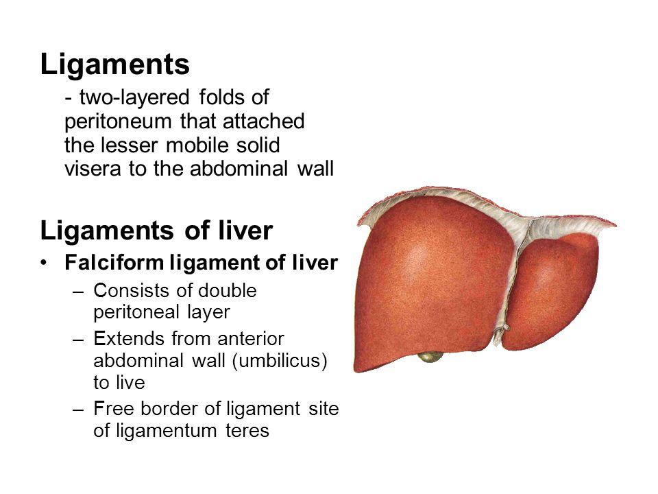Ligaments Ligaments of liver