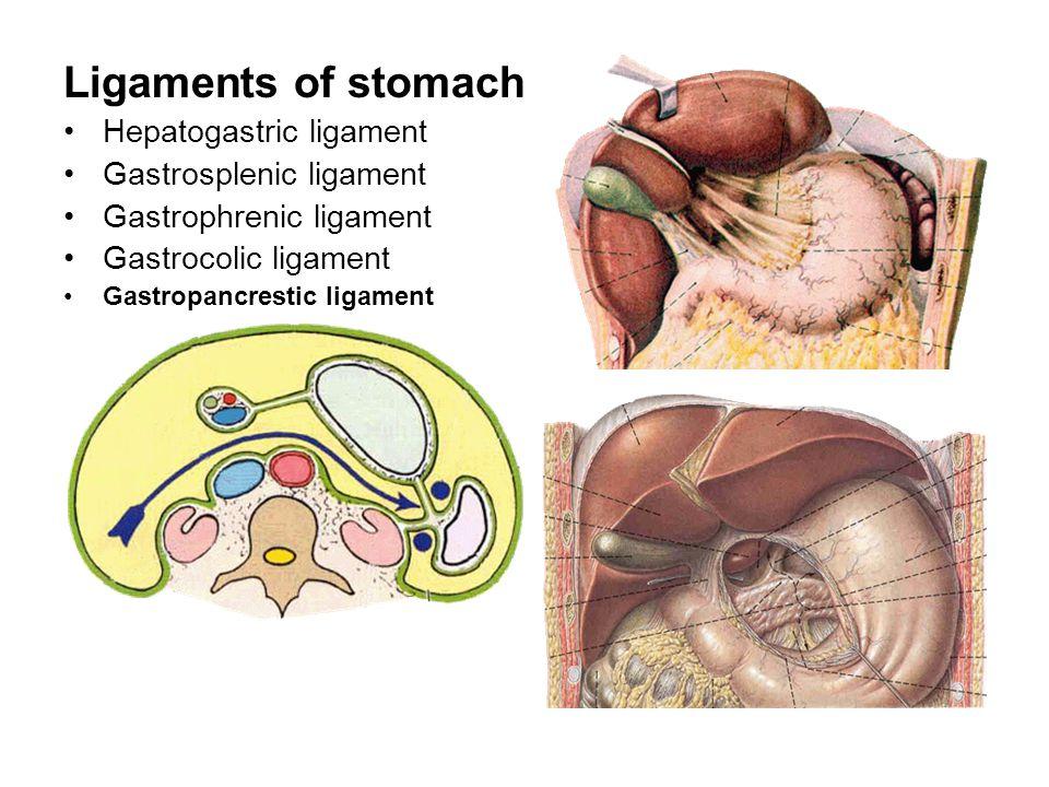 Ligaments of stomach Hepatogastric ligament Gastrosplenic ligament