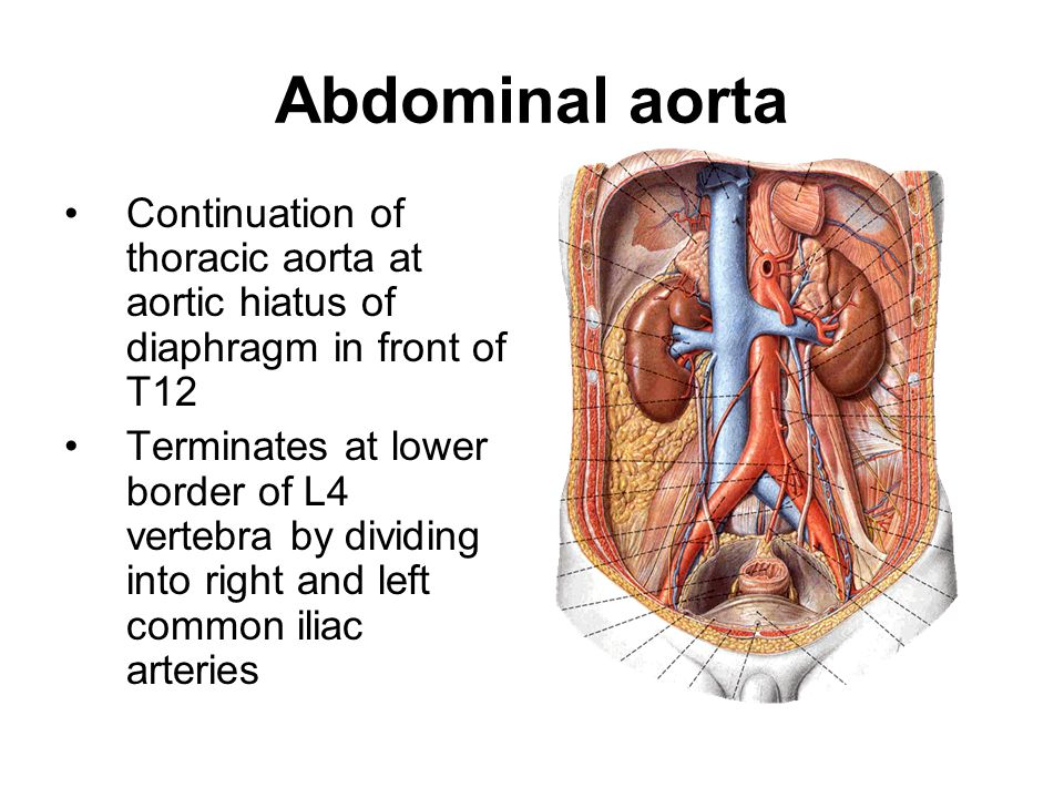Abdominal aorta Continuation of thoracic aorta at aortic hiatus of diaphragm in front of T12.