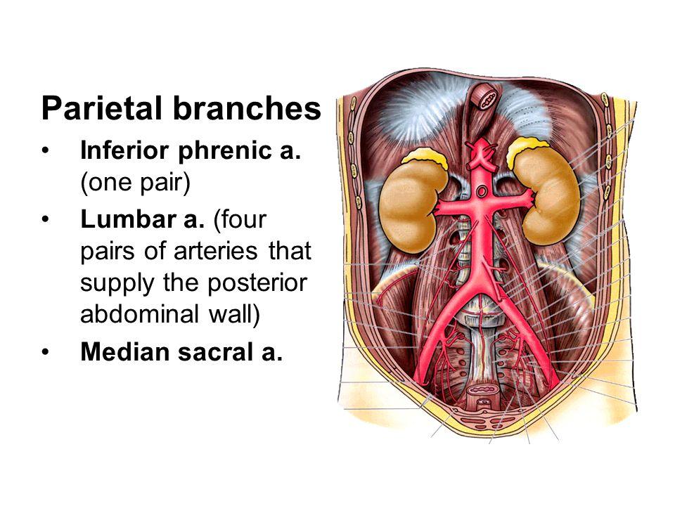 Parietal branches Inferior phrenic a. (one pair)