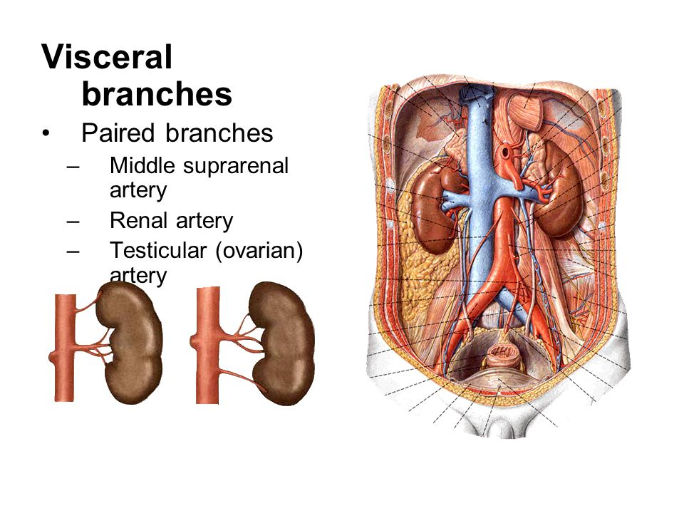 Visceral branches Paired branches Middle suprarenal artery