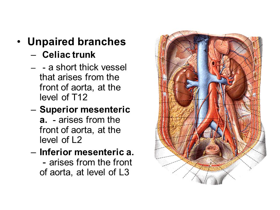 Unpaired branches Celiac trunk