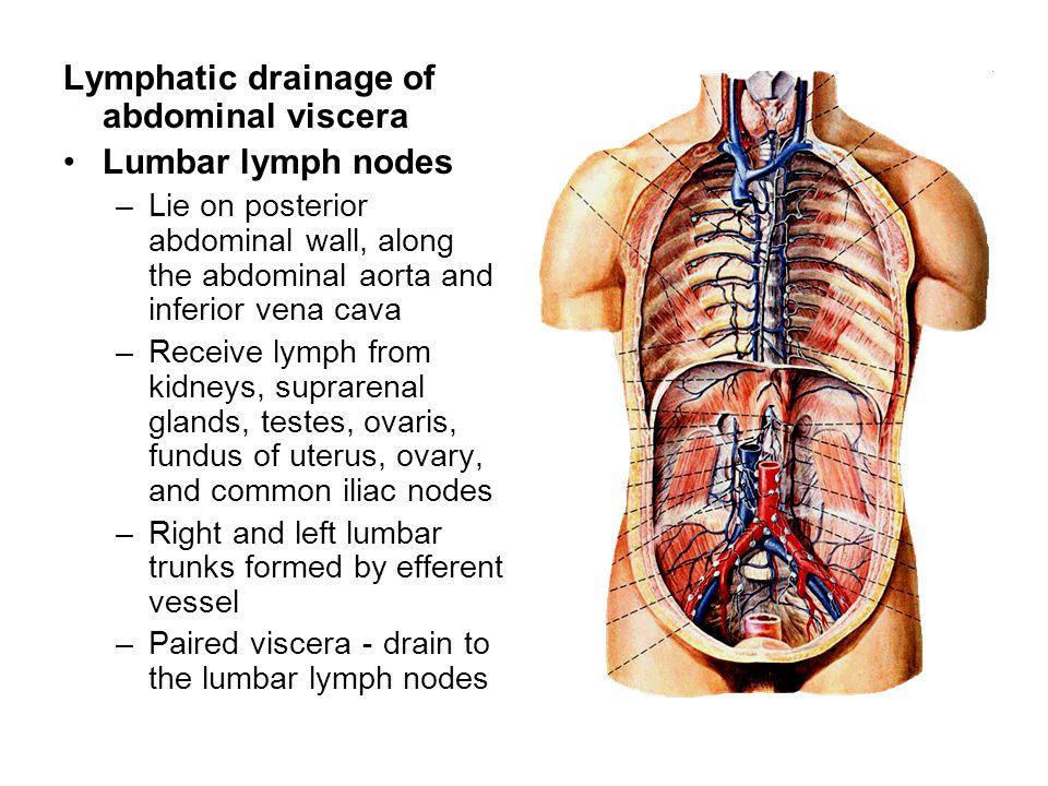 Lymphatic drainage of abdominal viscera Lumbar lymph nodes