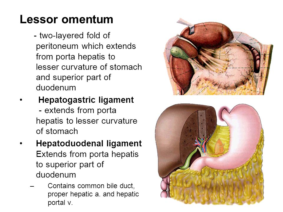 Lessor omentum -two-layered fold of peritoneum which extends from porta hepatis to lesser curvature of stomach and superior part of duodenum.