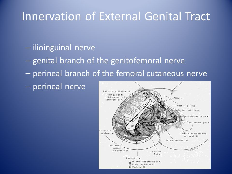 Innervation of External Genital Tract