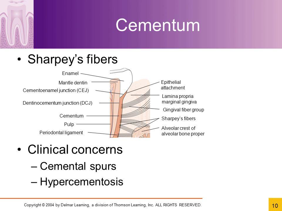 Cementum Clinical concerns Cemental spurs Hypercementosis Enamel