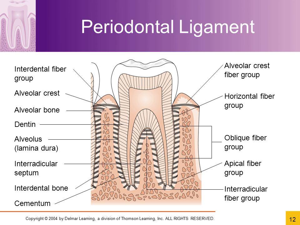 Periodontal Ligament Alveolar crest fiber group