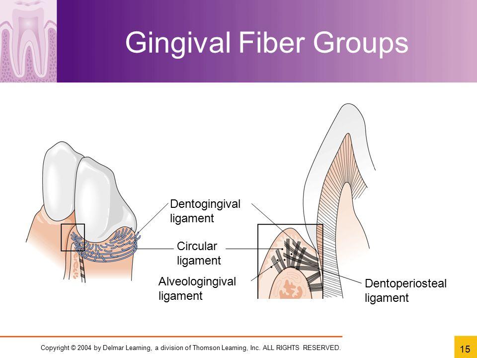 Gingival Fiber Groups Dentogingival ligament Circular ligament