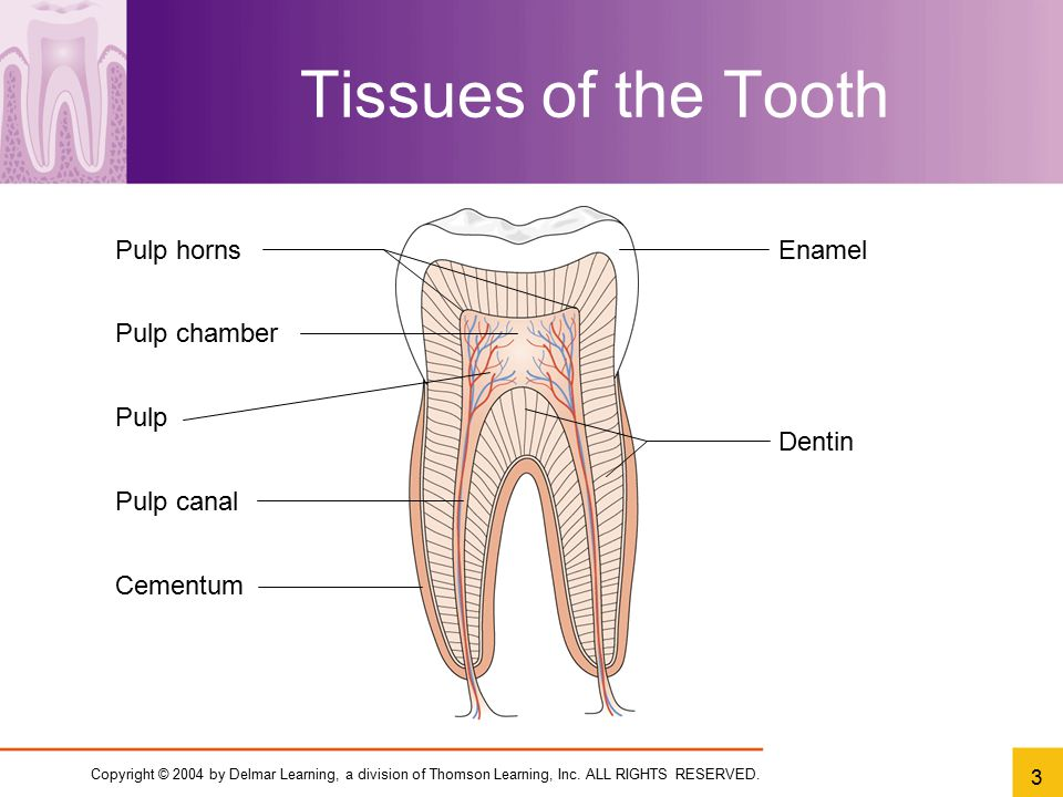 Tissues of the Tooth Pulp horns Enamel Pulp chamber Pulp Dentin