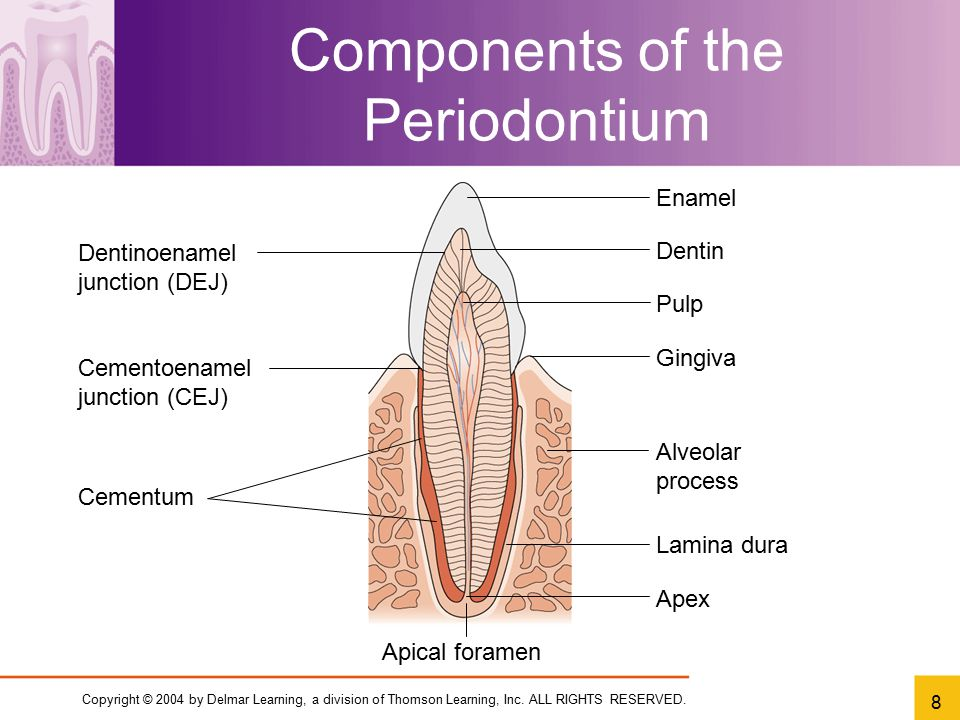 Components of the Periodontium