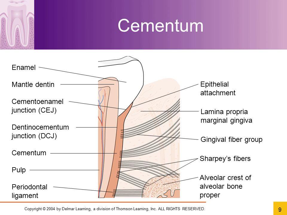 Cementum Enamel Mantle dentin Epithelial attachment