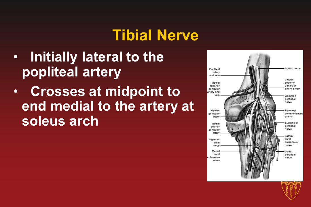 Tibial Nerve Initially lateral to the popliteal artery