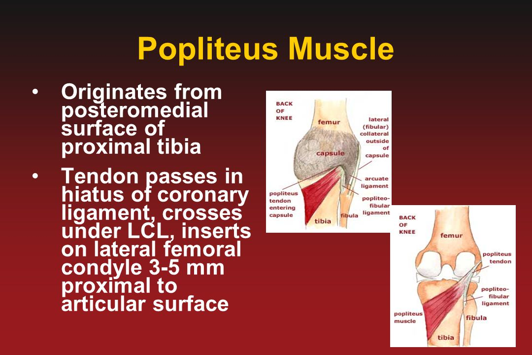 Popliteus Muscle Originates from posteromedial surface of proximal tibia.