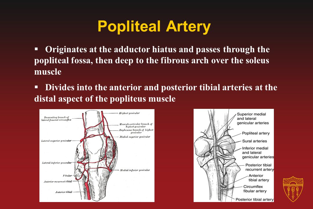 Popliteal Artery Originates at the adductor hiatus and passes through the popliteal fossa, then deep to the fibrous arch over the soleus muscle.