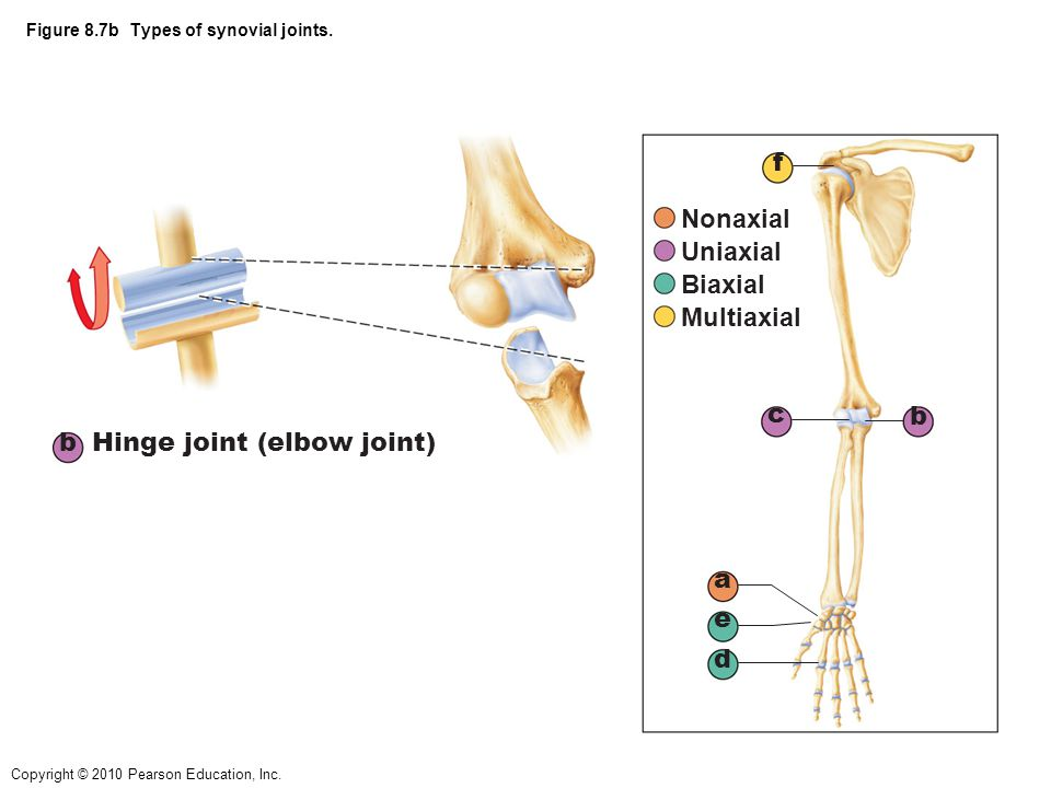 Figure 8.7b Types of synovial joints.
