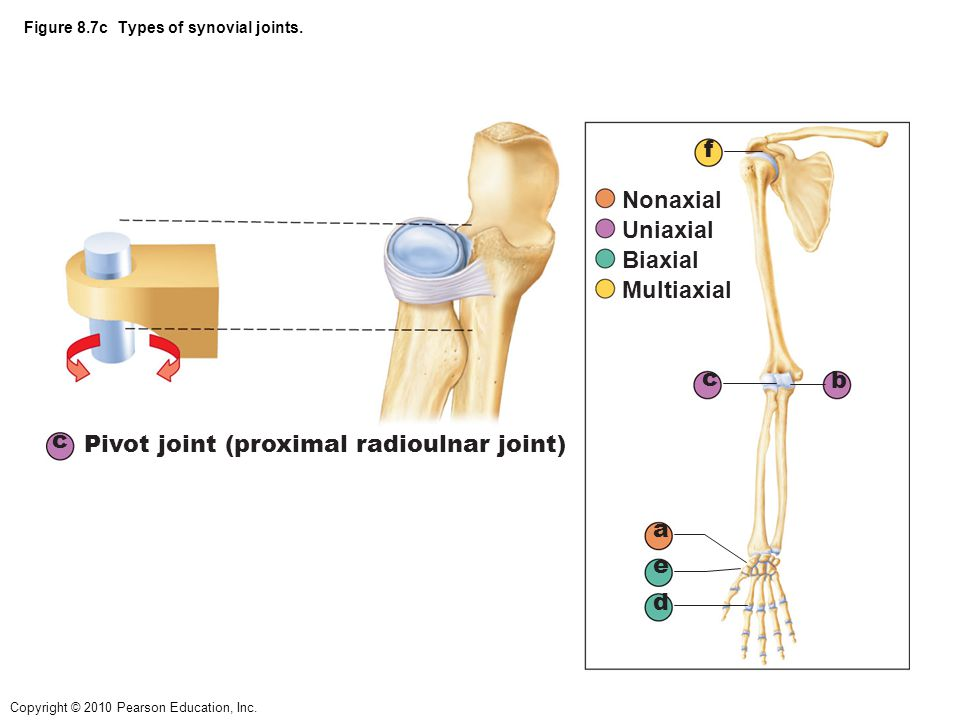 Figure 8.7c Types of synovial joints.