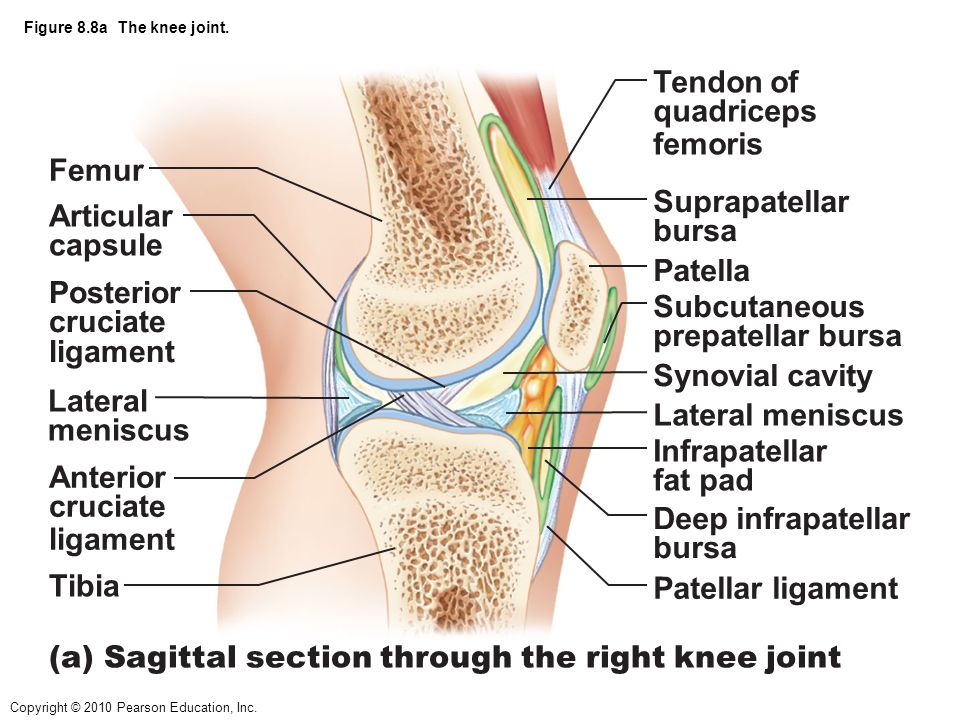(a) Sagittal section through the right knee joint Femur Tendon of