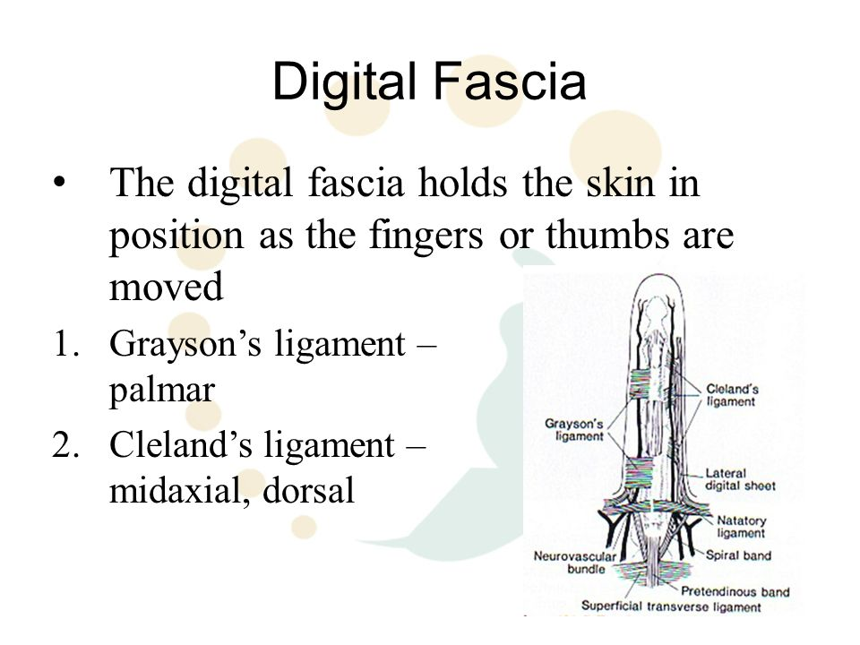 Digital Fascia The digital fascia holds the skin in position as the fingers or thumbs are moved.