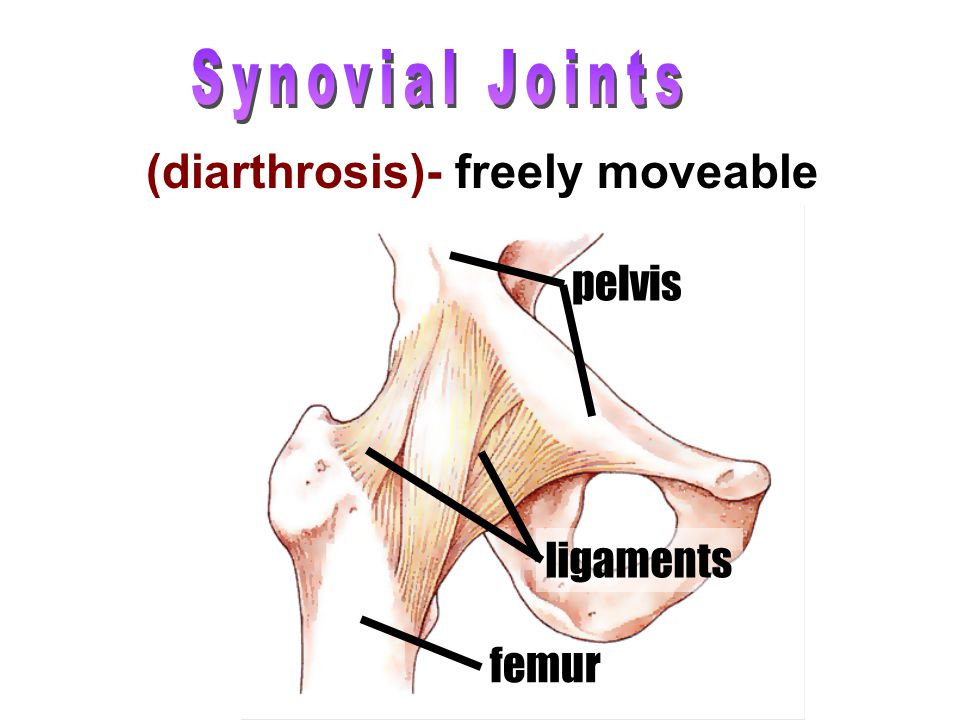 (diarthrosis)- freely moveable