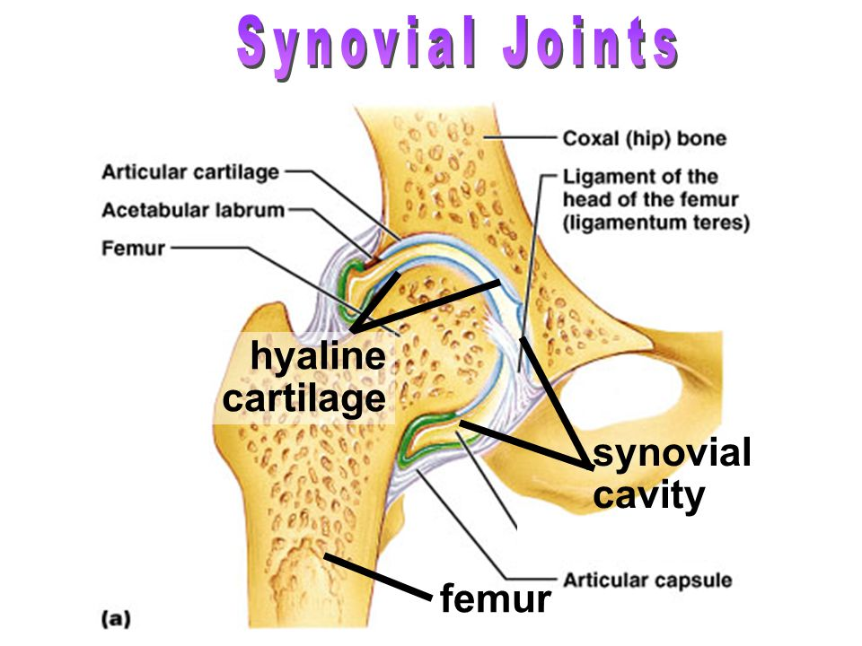 Synovial Joints hyaline cartilage synovial cavity femur