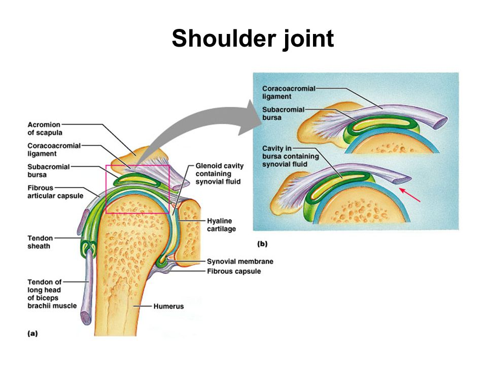 Shoulder joint Glenohumeral (shoulder) joint - formed by the head of the humerus and scapular glenoid fossa.
