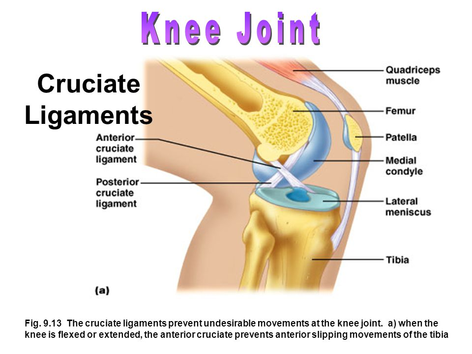 Cruciate Ligaments Knee Joint