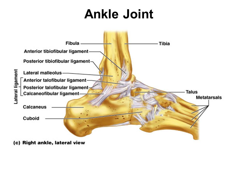 Ankle Joint Talocrural (ankle) joint - the 2 articulations within