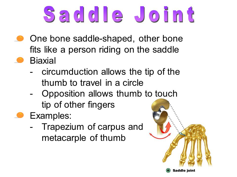 Saddle Joint One bone saddle-shaped, other bone fits like a person riding on the saddle. Biaxial.