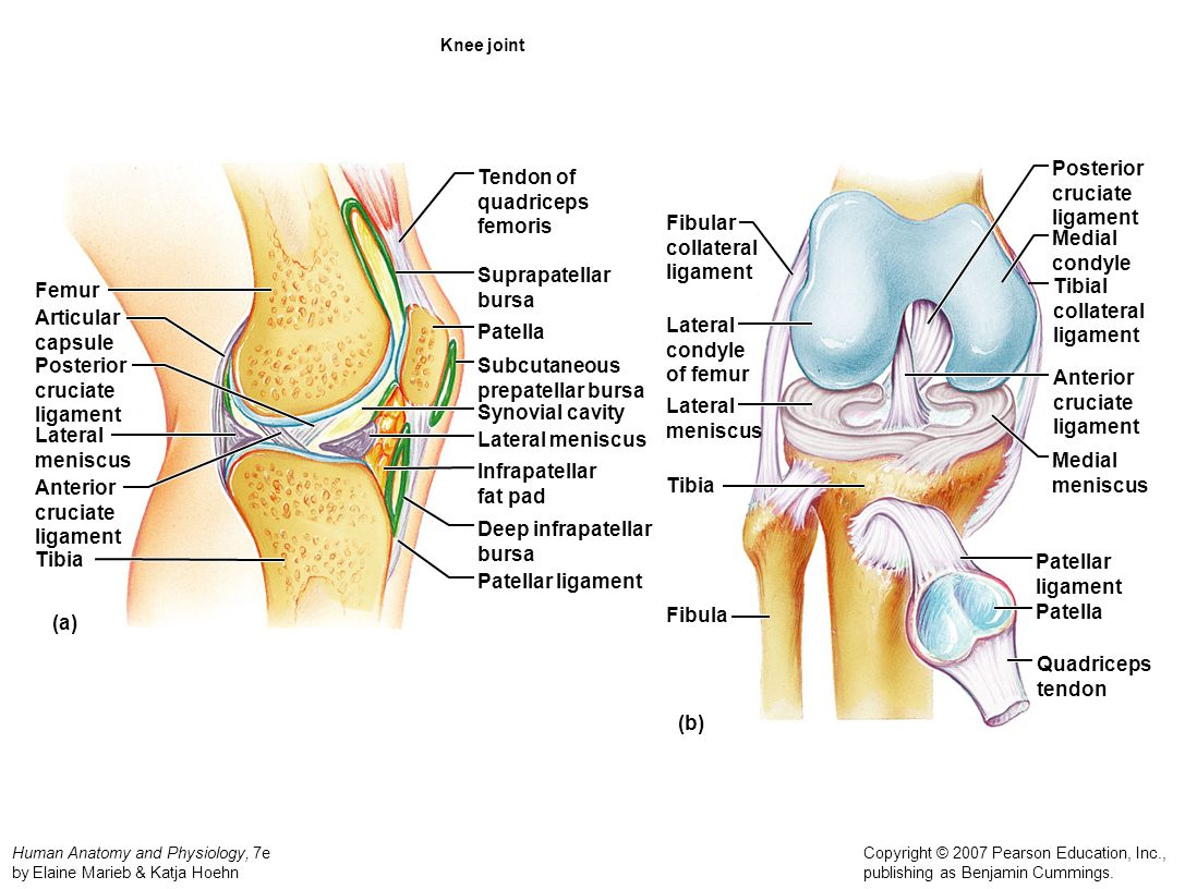 Posterior cruciate ligament Tendon of quadriceps femoris Fibular