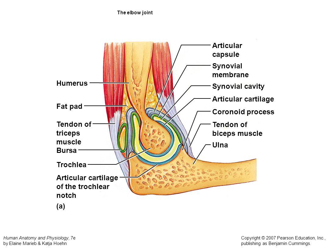 Articular capsule Synovial membrane Humerus Synovial cavity