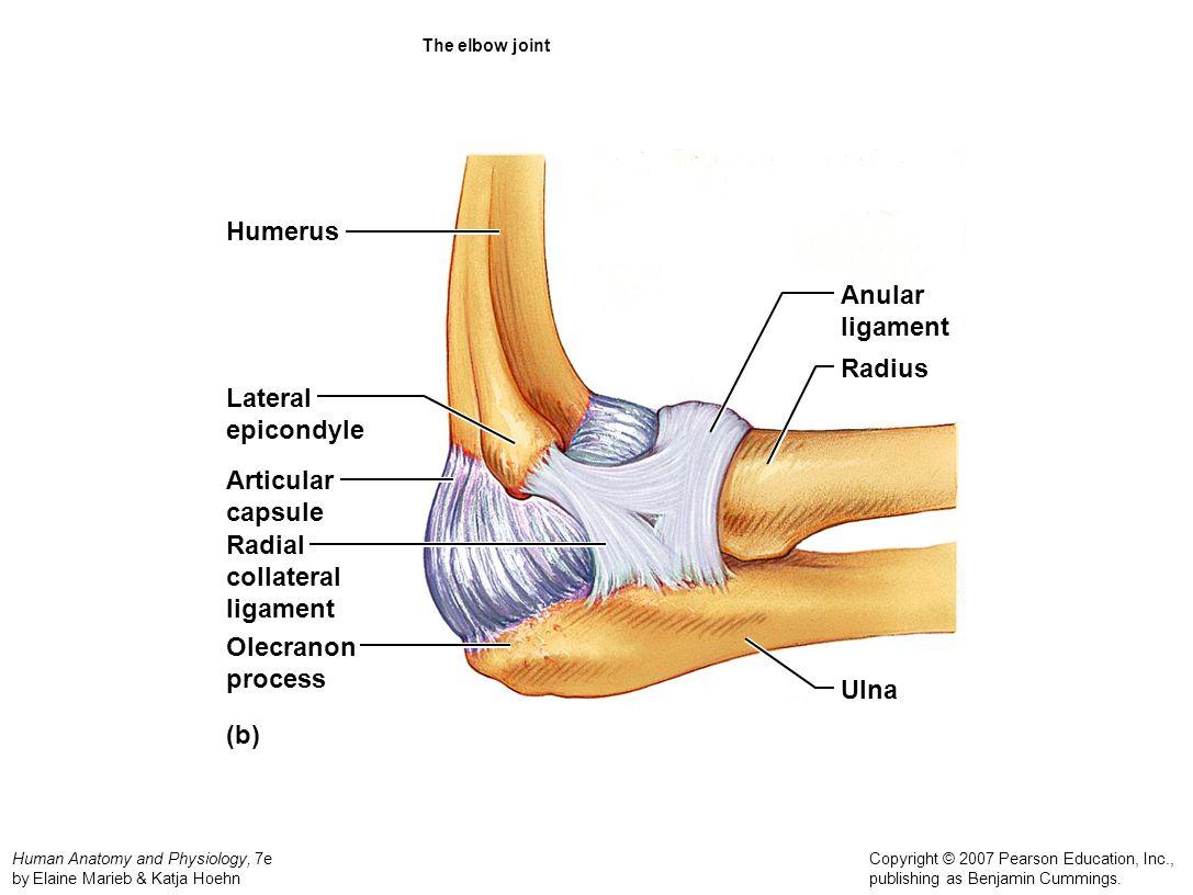 Humerus Anular ligament Radius Lateral epicondyle Articular capsule
