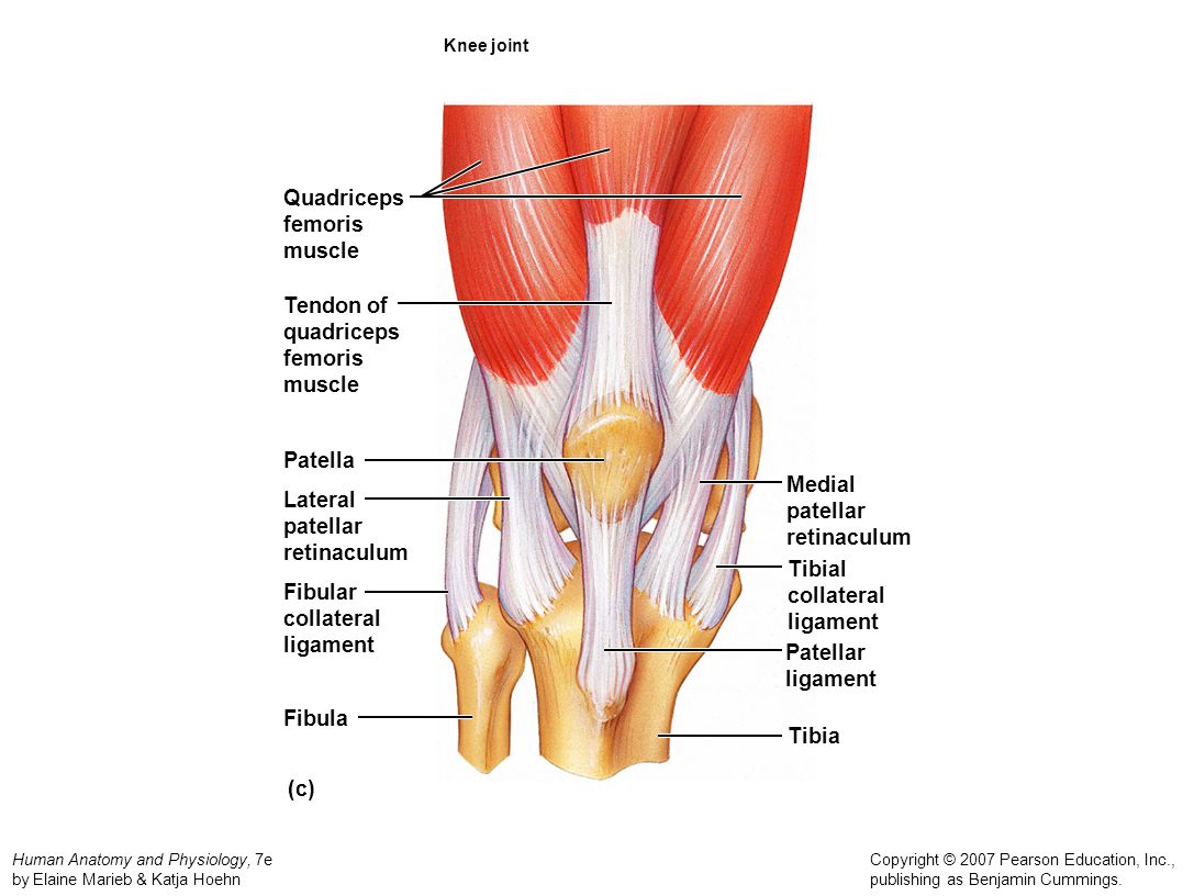 Quadriceps femoris muscle Tendon of quadriceps femoris muscle Patella