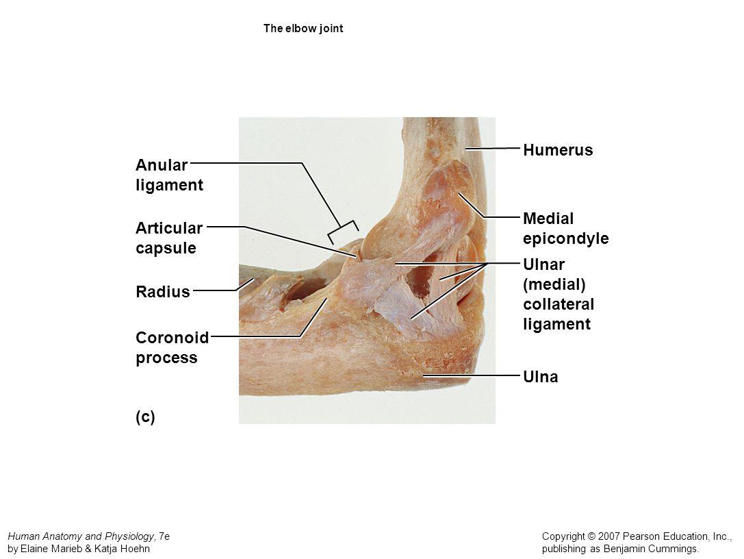 Humerus Anular ligament Medial Articular epicondyle capsule Ulnar
