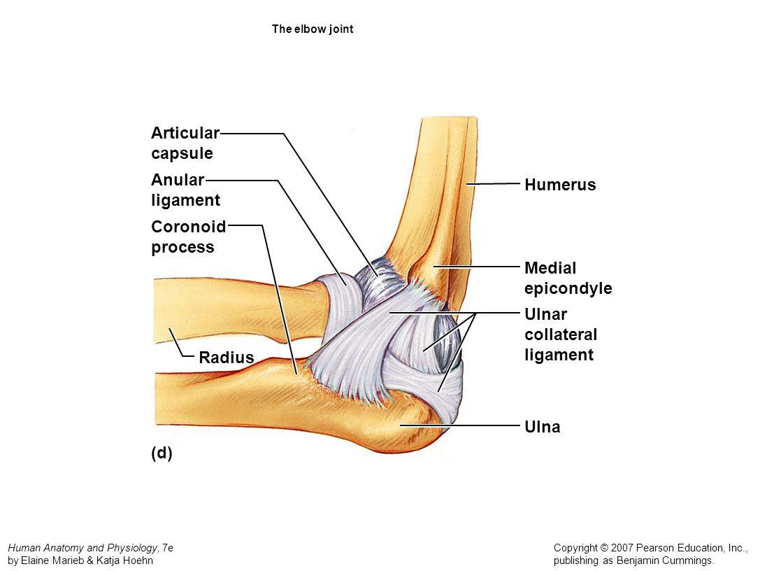 Articular capsule Anular Humerus ligament Coronoid process Medial