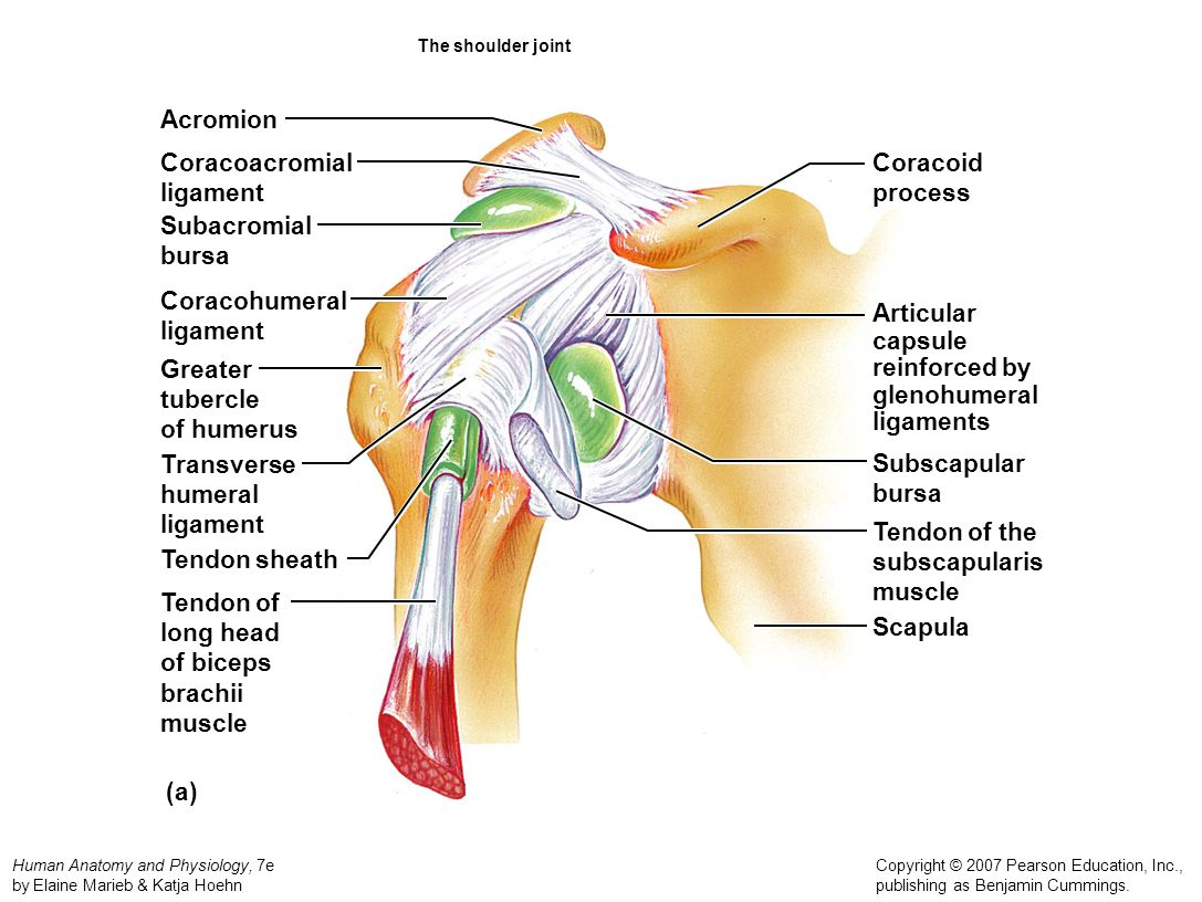 Acromion Coracoacromial ligament Coracoid process Subacromial bursa