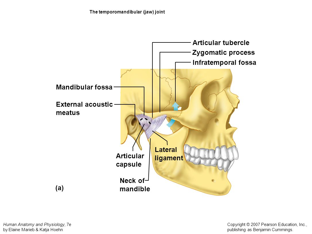 The temporomandibular (jaw) joint