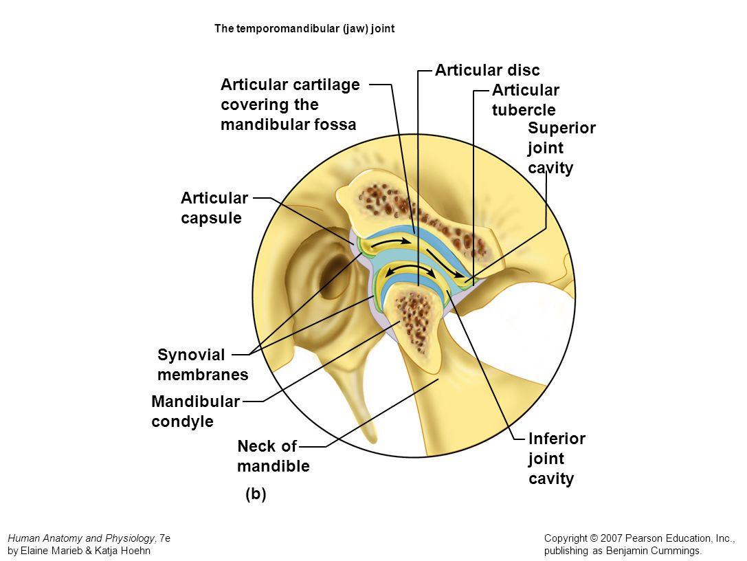 The temporomandibular (jaw) joint