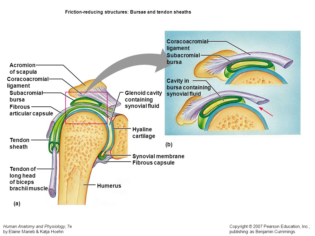 Friction-reducing structures: Bursae and tendon sheaths
