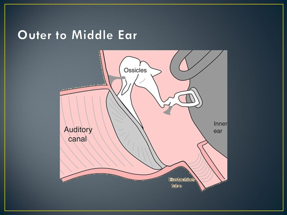 Outer to Middle Ear Pay attention to the shape and how the middle ear ossicles are attached
